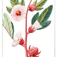 Roselle branch with buds, flowers, and leaves. this plant is a species of hibiscus