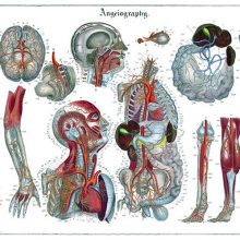 Anatomical plate showing the blood circulatory system with detail views of most organs