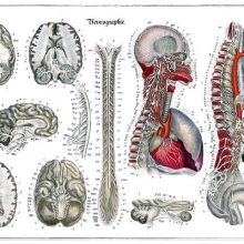 Anatomical plate showing the nervous system with details of the brain, spine, etc