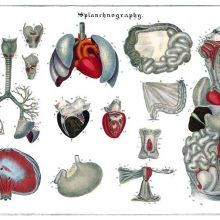 Anatomical plate showing the heart, lungs, stomach, intestines, and reproductive organs