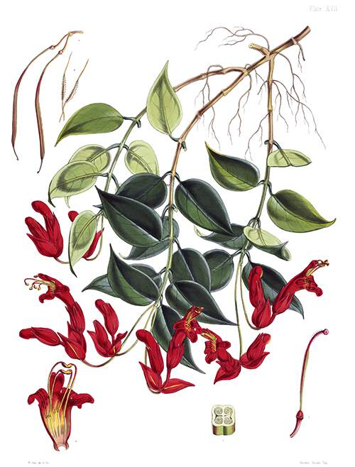 Botanical plate showing a branch of Aeschynanthus bracteatus with flowers and leaves