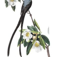 A male fork-tailed flycatcher is seen on the branch of a blooming loblolly-bay tree