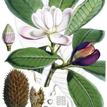 Botanical plate showing a branch of Magnolia hodgsonii with flowers and leaves
