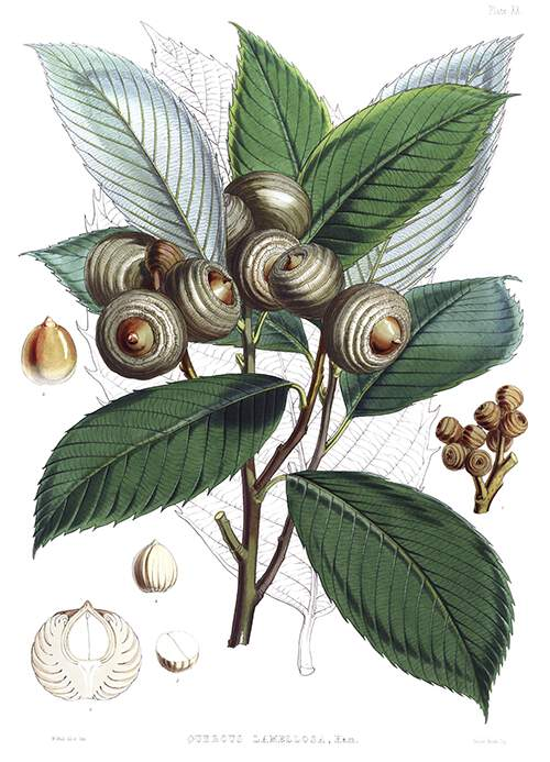 Botanical plate showing a branch of Quercus lamellosa with leaves and acorns