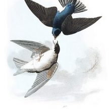 A male and female tree swallows are seen in flight, one positioned upside down above the other