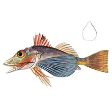 plate showing a bighead searobin (Prionotus tribulus), a fish in the family Triglidae