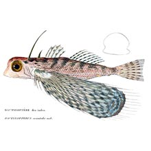 Oriental flying gurnard (Dactyloptena orientalis), a fish in the family Dactylopteridae
