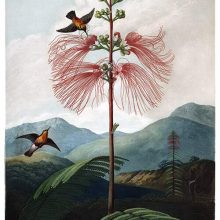 View of blooming Calliandra houstoniana in a hilly landscape with fluttering hummingbirds