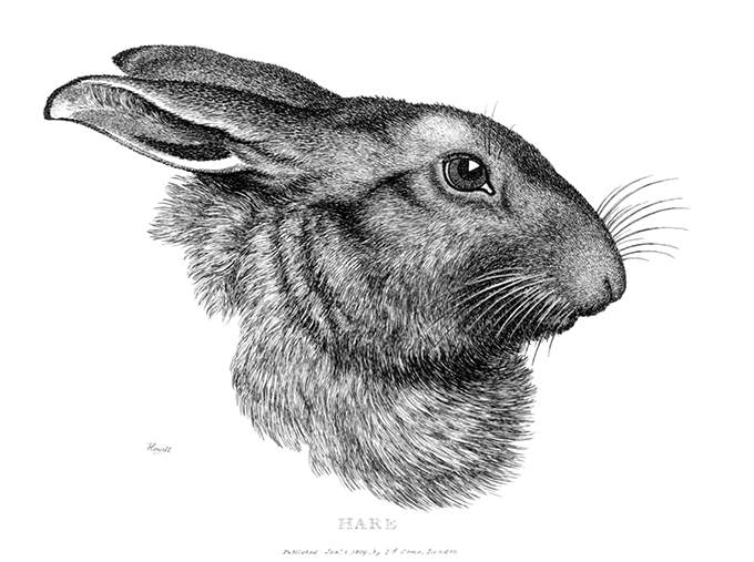 Side view of a hare's head on white background