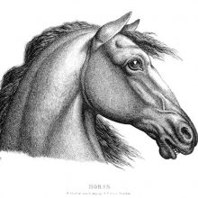Side view of a horse's head on white background