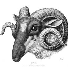 Three-quarter view of a ram's head showing prominent spiral-shaped horns