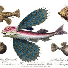 Depiction of a flying gurnard (Dactylopterus volitans) among other fishes