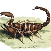 Plate showing a scorpion, an arachnid in the family Scorpionidae, on a patch of moss or grass