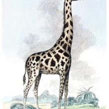 A Nubian giraffe (Giraffa camelopardalis camelopardalis) is seen from the side in the savannah