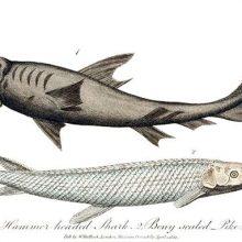 Plate showing a hammerhead shark and a longnose gar (Lepisosteus osseus)