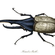 Plate showing a male Hercules beetle, a tropical insect in the Scarabaeidae family