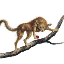 A Pygmy mouse lemur can be seen on a branch holding a fruit and looking at the viewer