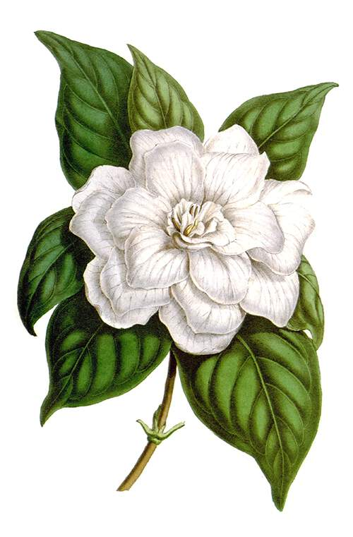 Flower and leaves of Gardenia jasminoides var. fortuneana, an evergreen shrub native to Asia