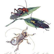 Plate showing Homoeogryllus venosus, Aularches miliaris, and Schizodactylus monstrosus