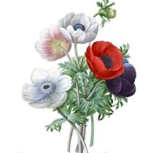 Stipple engraving showing a bunch of Anemone coronaria of mixed colors