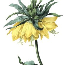 Fritillaria imperialis, a plant in the family Liliaceae grown for its ornamental qualities