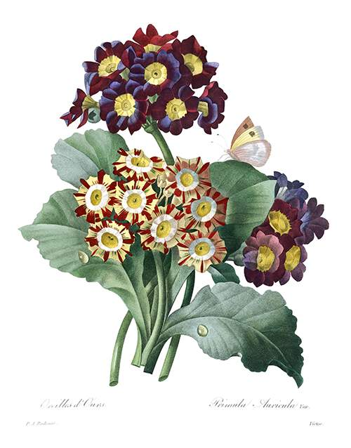 Stipple engraving showing leaves and umbels of Primula auricula of various colors