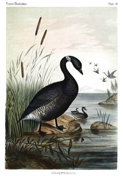 View of a black brant standing on the bank of an inlet grown with reeds