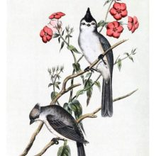A male and a female black-crested titmouse are sitting on the branches of a red-flowered shrub