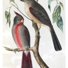 A male and a female desert cardinal are sitting on the branch of a deciduous tree