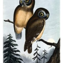 Two northern saw-whet owls are sitting on a branch in a landscape of coniferous woodland