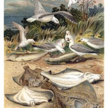 A group of plaice is seen stranded on a beach where it becomes prey to seagulls