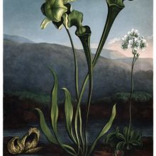 View of a skunk cabbage, a yellow pitcherplant, and a Venus flytrap on the bank of a pond