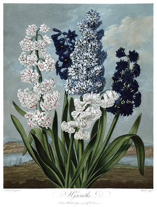 View of five varieties of hyacinths in the foreground of a coastal landscape