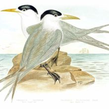 Two crested terns are sitting on a rock surrounded by the sea, facing opposite directions