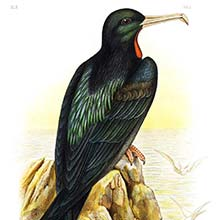 View of a lesser frigatebird (Fregata ariel) sitting on a rock overlooking the sea