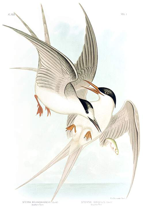 White-fronted tern and roseate tern flying and fighting over a fish