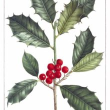 Stipple engraving showing leaves and fruit on a branch of American holly (Ilex opaca)