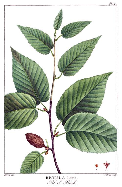 Stipple engraving showing leaves and fertile aments on a branch of black birch (Betula lenta)