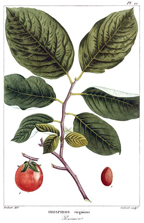 Stipple engraving showing leaves and fruit of American persimmon (Diospyros virginiana)