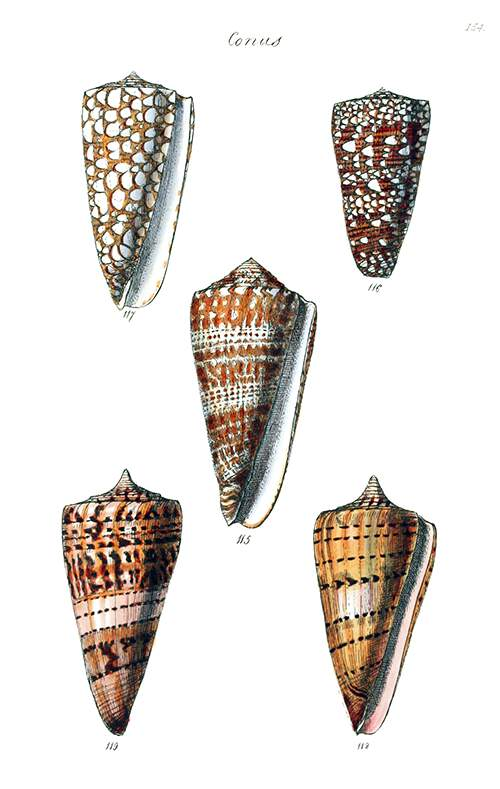 Shells of three species of sea snails in the family Conidae, commonly known as cone snails