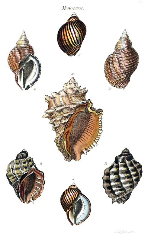 Shells of four sea snails in the family Muricidae, classified by the author in the genus Monoceros