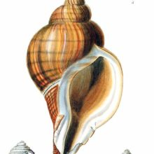 Shells of sea snails in the family Muricidae, classified by the author in the genus Monoceros