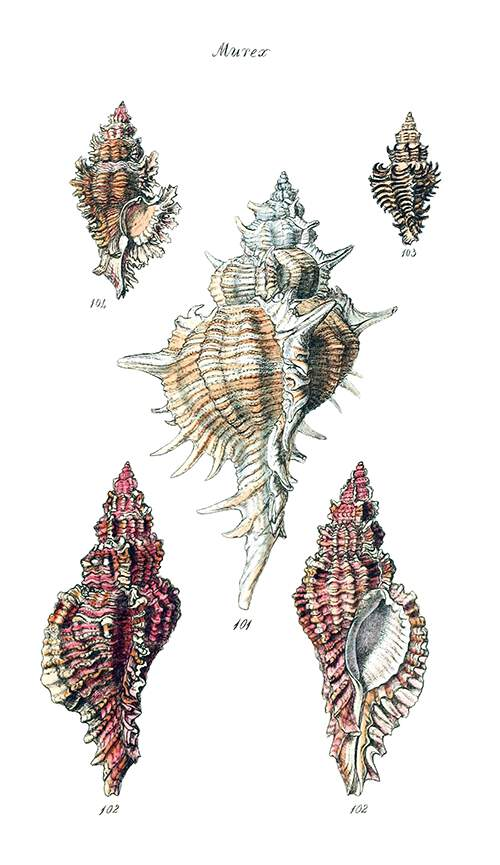 Plate showing the shells of four sea snails in the family Muricidae