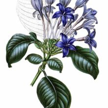Hindsia violacea is a plant in the family Rubiaceae introduced to Britain in 1844