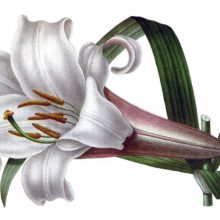 Lilium brownii is a plant in the family Liliaceae, native to China