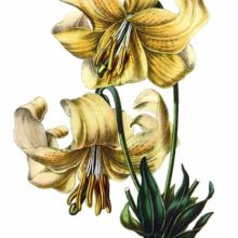 The Nankeen lily (Lilium testaceum) is a hybrid between Lilium candidum and Lilium chalcedonicum