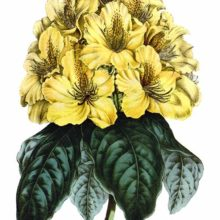 Mr. Smith's Yellow Rose-Bay (Rhododendron smithii aureum) is a plant in the family Ericaceae