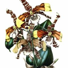 Rossioglossum grande is a plant in the family Orchidaceae, native to South and Central America