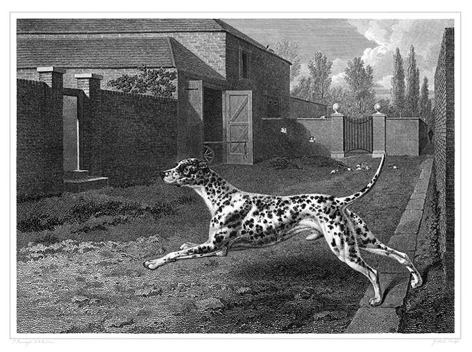 A Dalmatian is seen from the side leaping forward in a courtyard