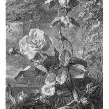 Plate showing a blooming rose shrub growing in front of a garden wall overgrown with vines